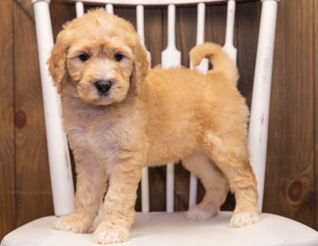 Sandy is an F1 Goldendoodle that should have  and is currently living in Wisconsin