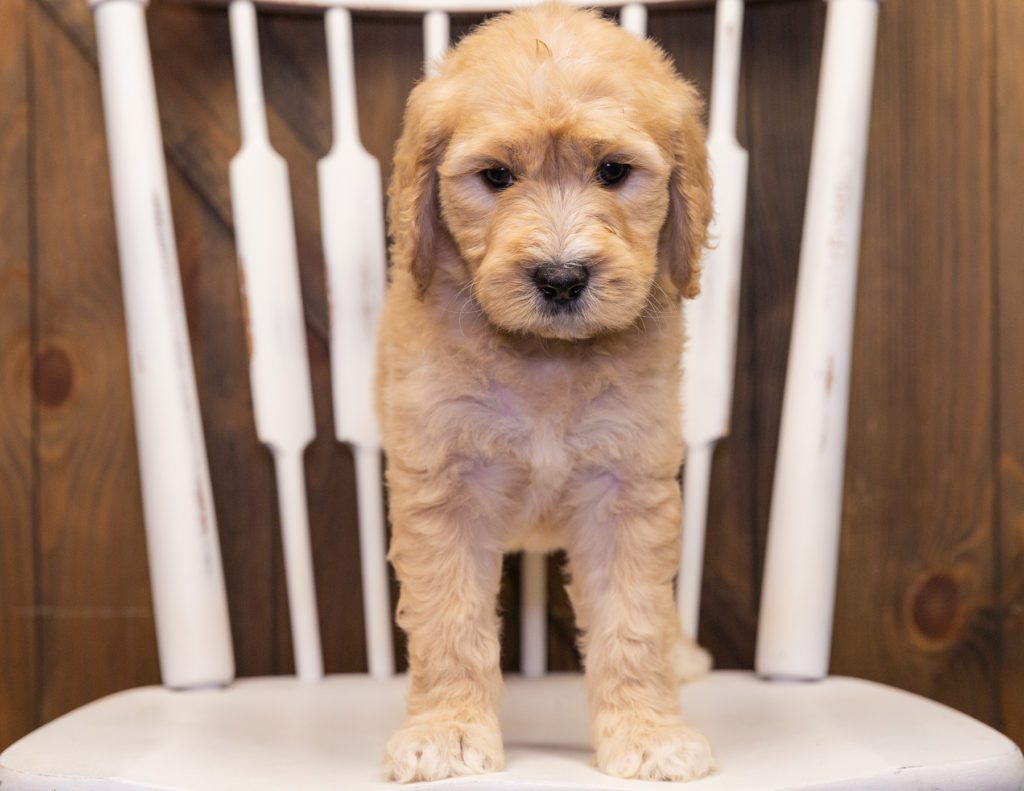 Sandy came from KC and Scout's litter of F1 Goldendoodles