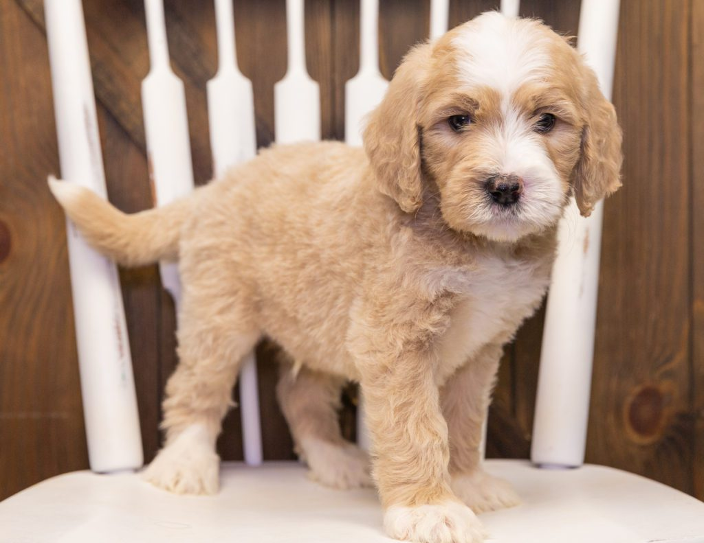A picture of a Sarge, one of our  Goldendoodles puppies that went to their home in Washington
