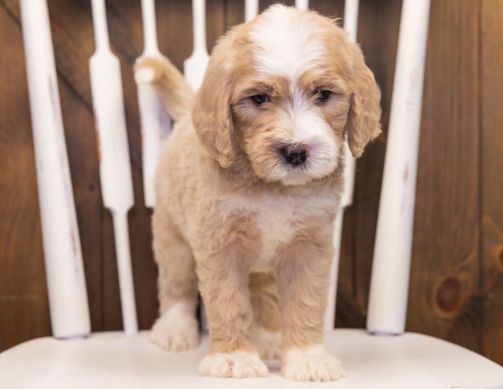 Sarge came from KC and Scout's litter of F1 Goldendoodles