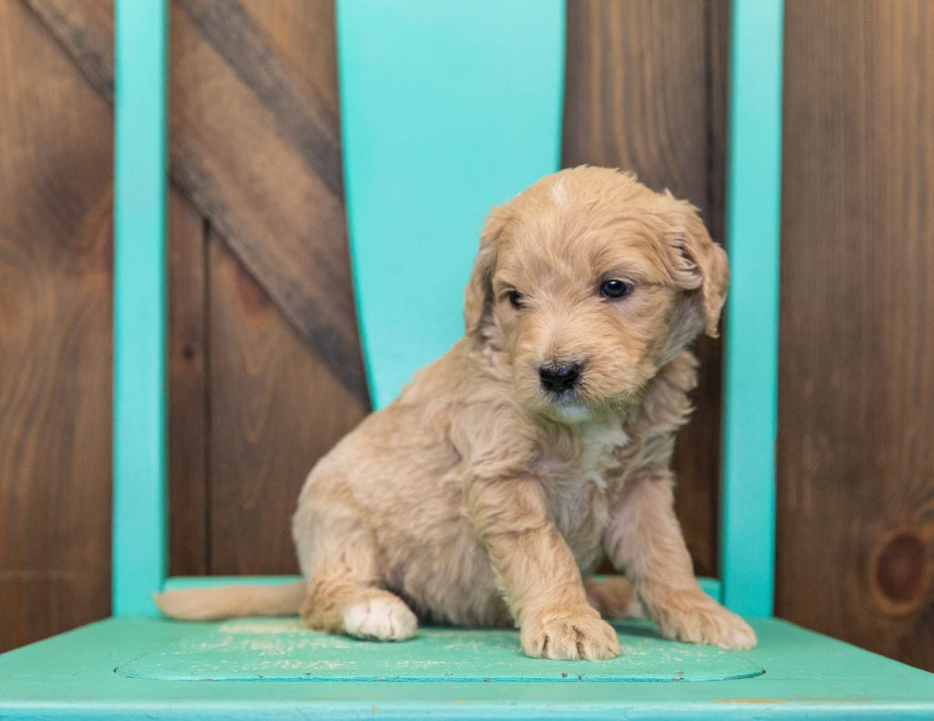 A picture of a Skip, one of our  Goldendoodles for sale