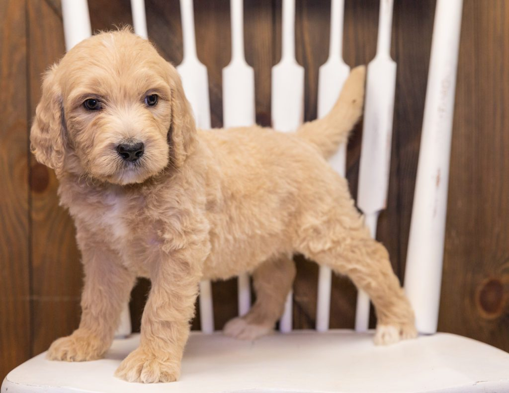Skip is an F1 Goldendoodle.