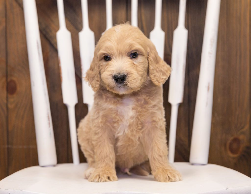 Skip came from KC and Scout's litter of F1 Goldendoodles