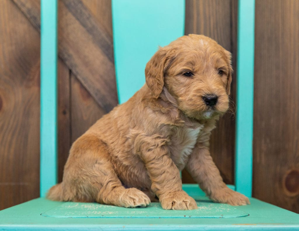 A picture of a Skippy, one of our  Goldendoodles for sale