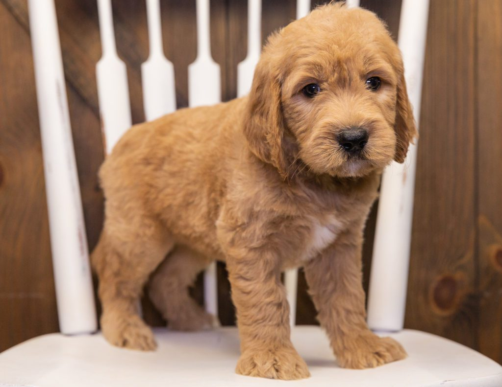 A picture of a Skippy, one of our  Goldendoodles puppies that went to their home in Maryland