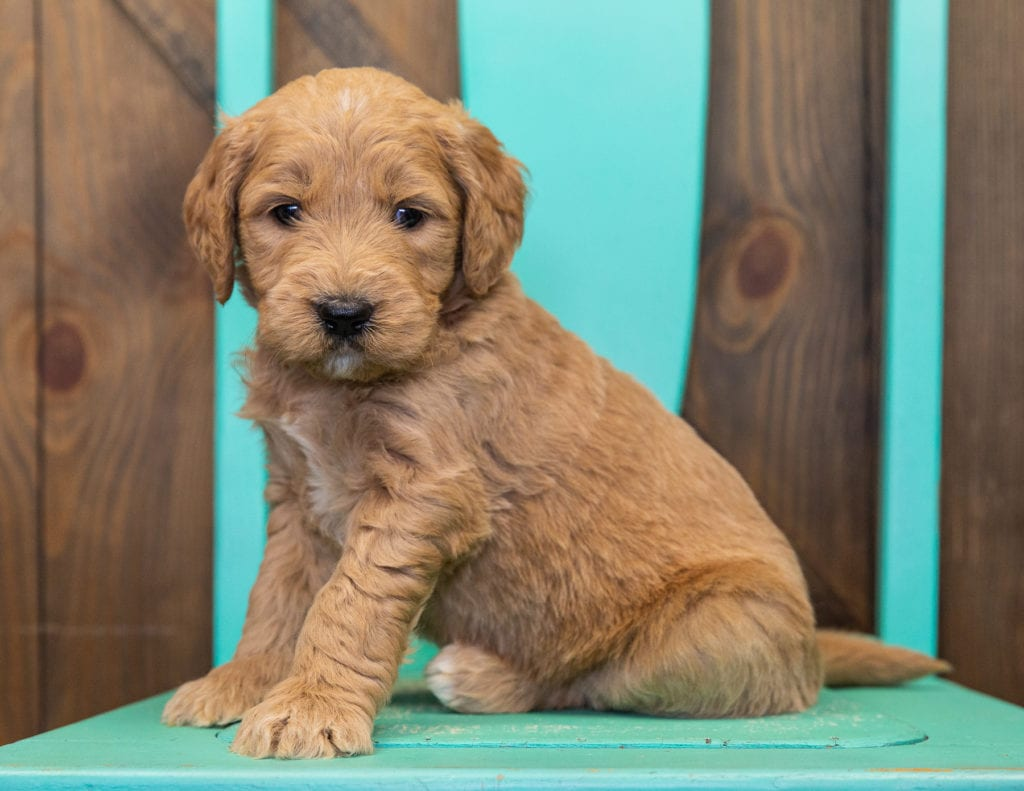 Skippy is an F1 Goldendoodle.