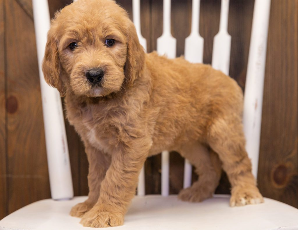 Skippy is an F1 Goldendoodle that should have  and is currently living in Maryland