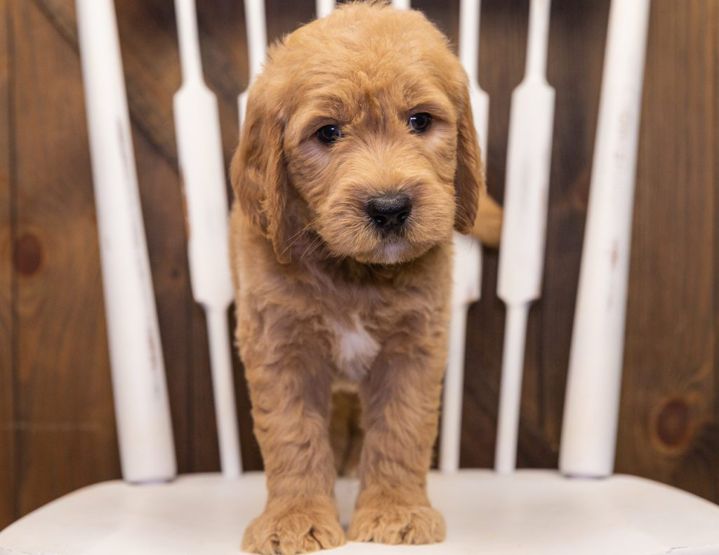 Skippy came from KC and Scout's litter of F1 Goldendoodles