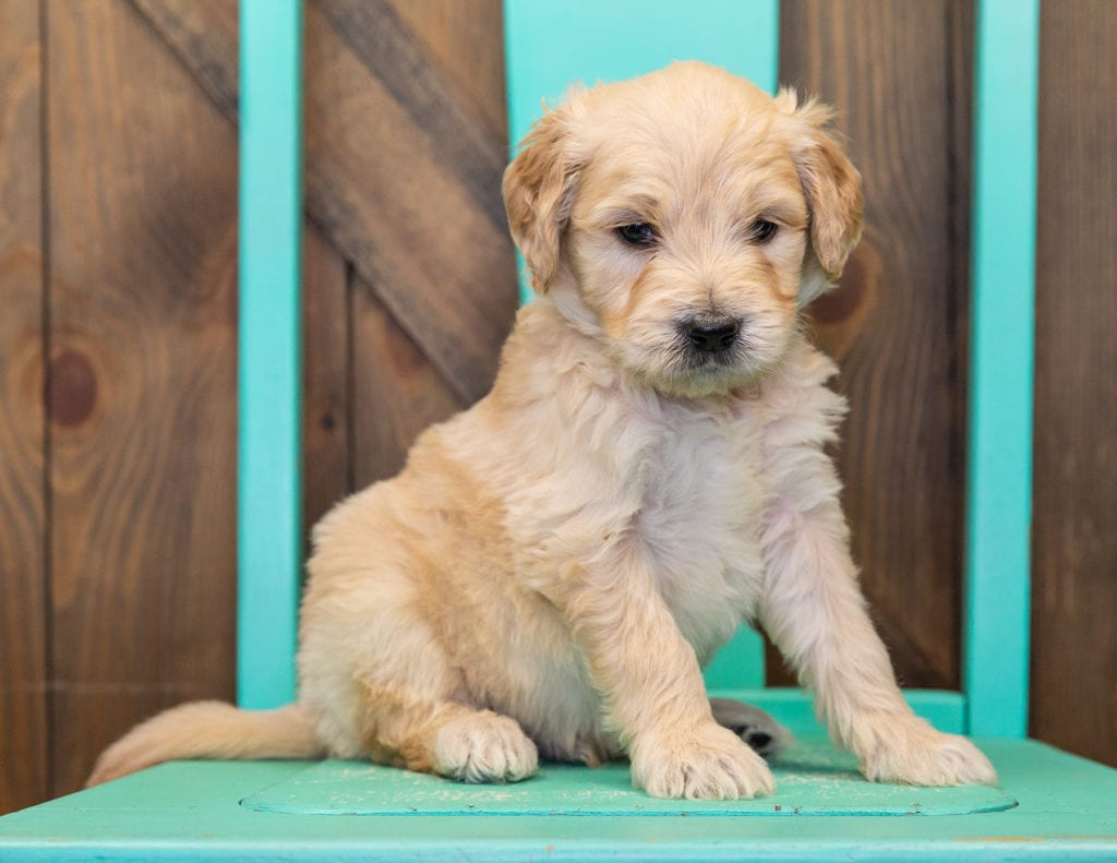 A picture of a Spud, one of our  Goldendoodles for sale