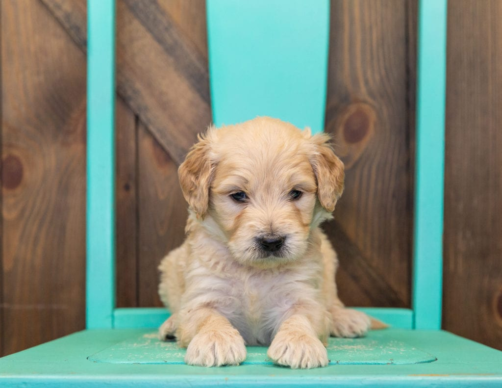 A litter of Standard Goldendoodles raised in Iowa by Poodles 2 Doodles