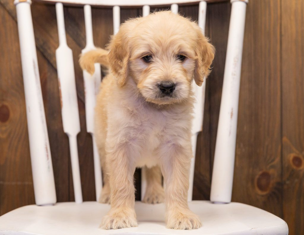 Spud came from KC and Scout's litter of F1 Goldendoodles