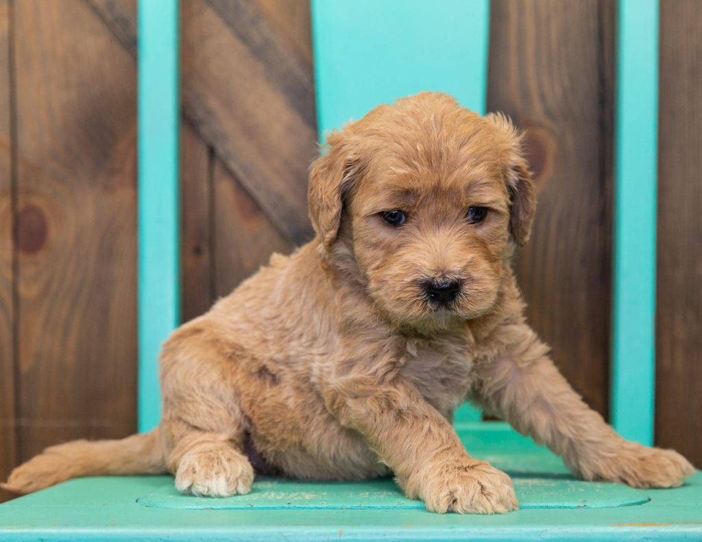 A picture of a Stella, one of our  Goldendoodles for sale
