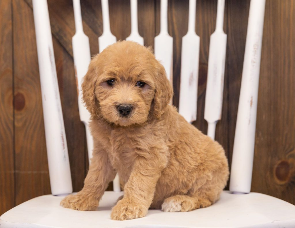 Stella is an F1 Goldendoodle.