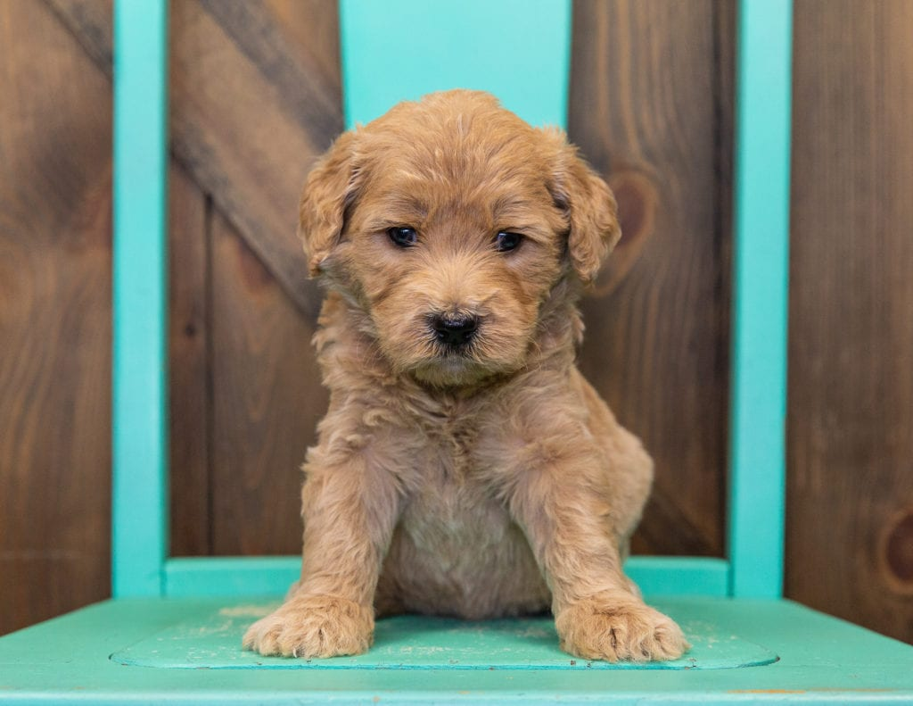 Stella came from KC and Scout's litter of F1 Goldendoodles