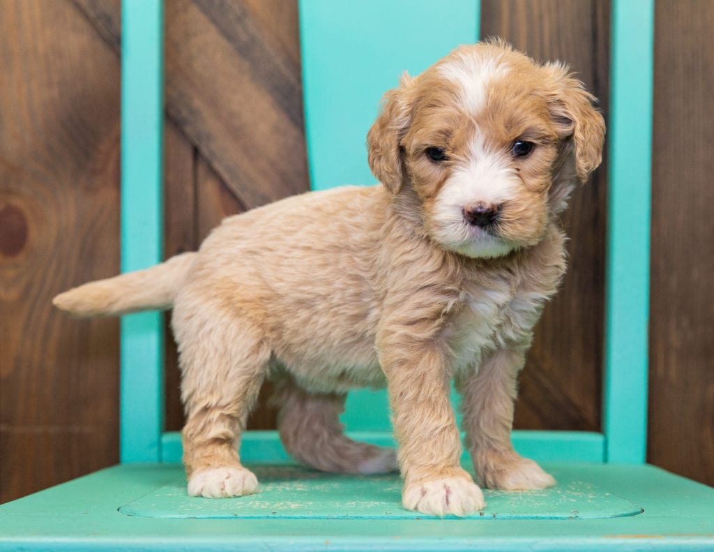 A picture of a Sugar, one of our  Goldendoodles for sale