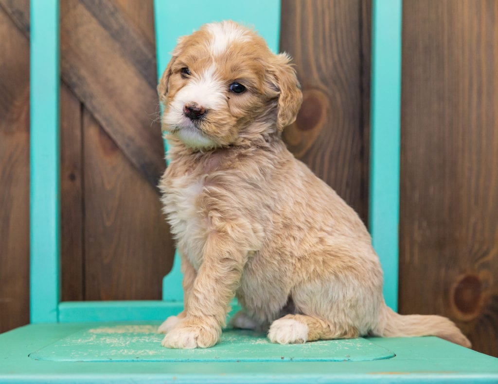 Sugar is an F1 Goldendoodle.