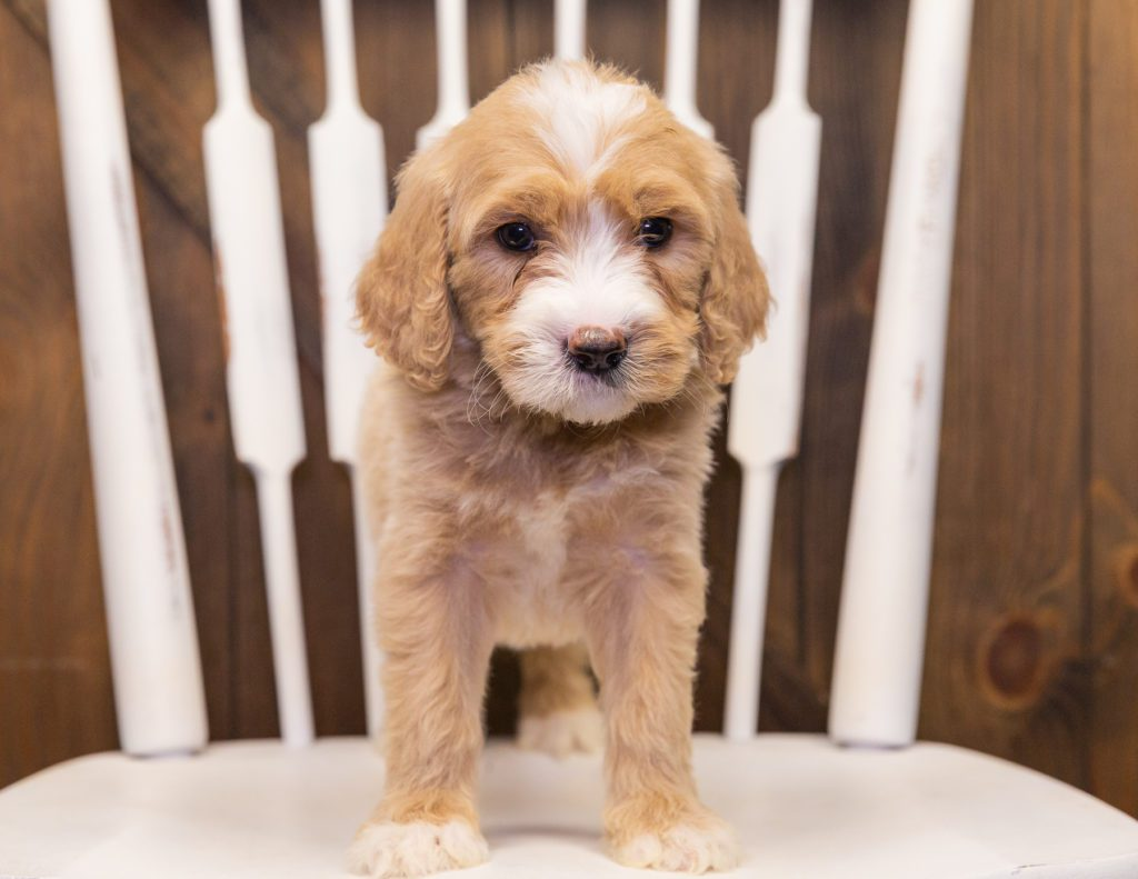 Sugar came from KC and Scout's litter of F1 Goldendoodles