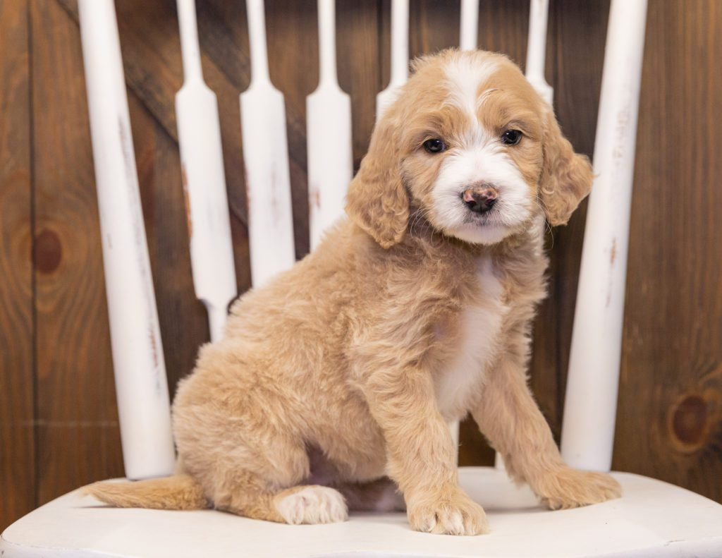 A picture of a Summer, one of our  Goldendoodles for sale
