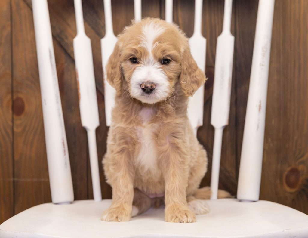 Summer came from KC and Scout's litter of F1 Goldendoodles