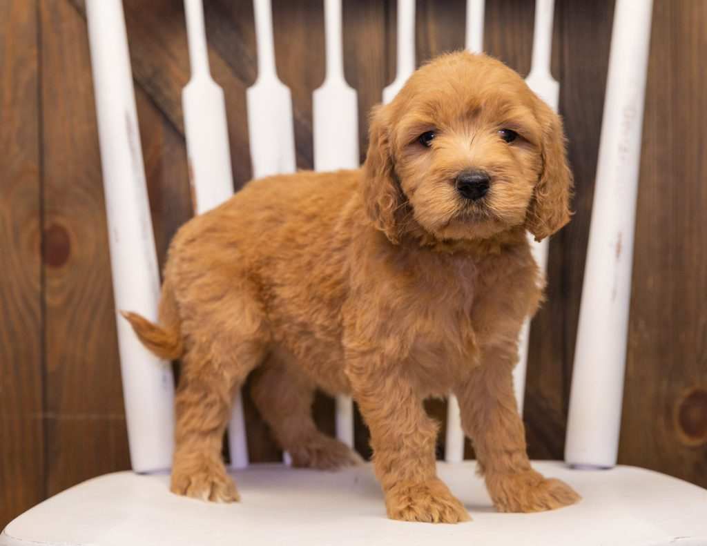 A picture of a Sweetie, one of our  Goldendoodles puppies that went to their home in Nebraska