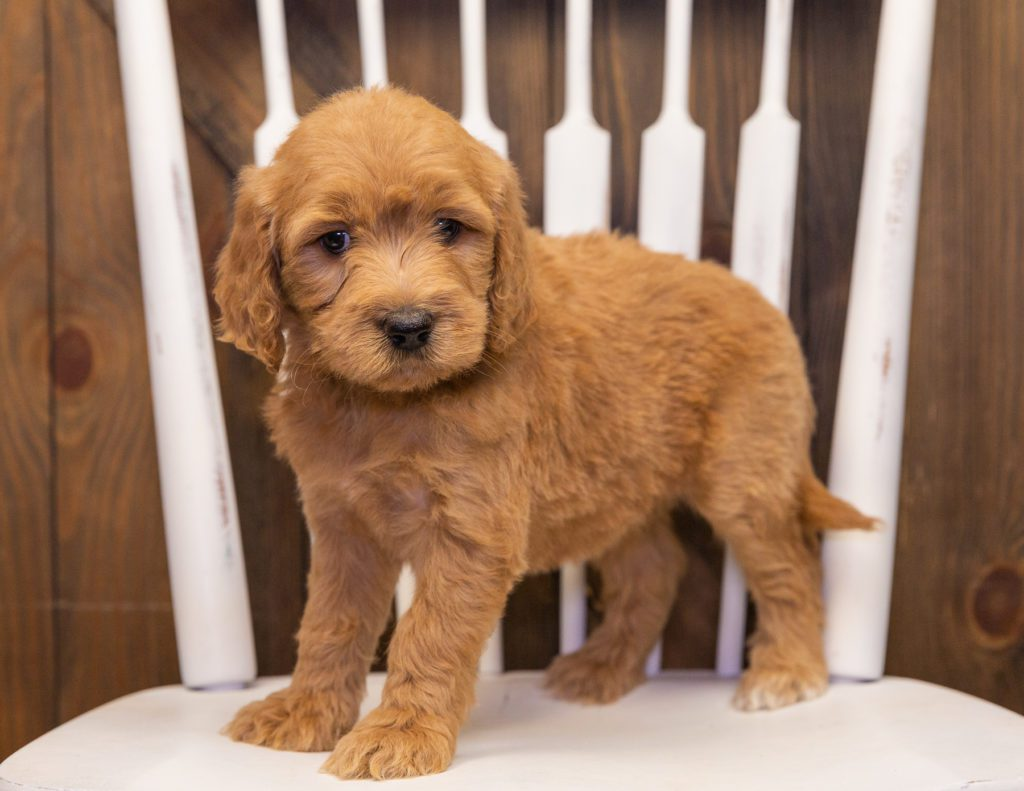 Sweetie is an F1 Goldendoodle that should have  and is currently living in Nebraska