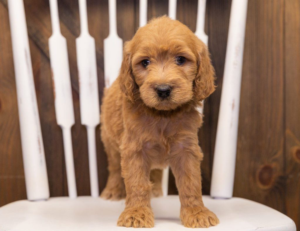 Sweetie came from KC and Scout's litter of F1 Goldendoodles