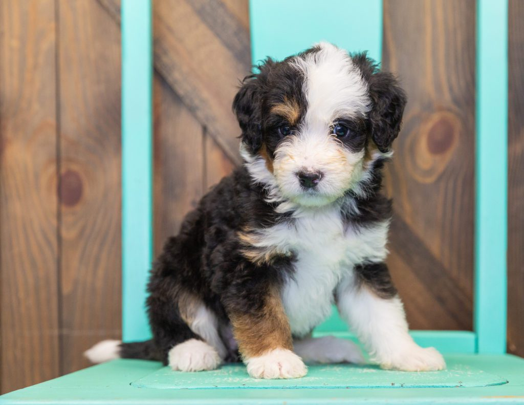 A picture of a Tessa, one of our  Bernedoodles for sale