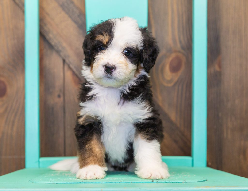 Tessa came from Willow and Bentley's litter of F1 Bernedoodles