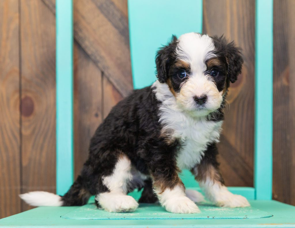 A picture of a Trina, one of our  Bernedoodles for sale