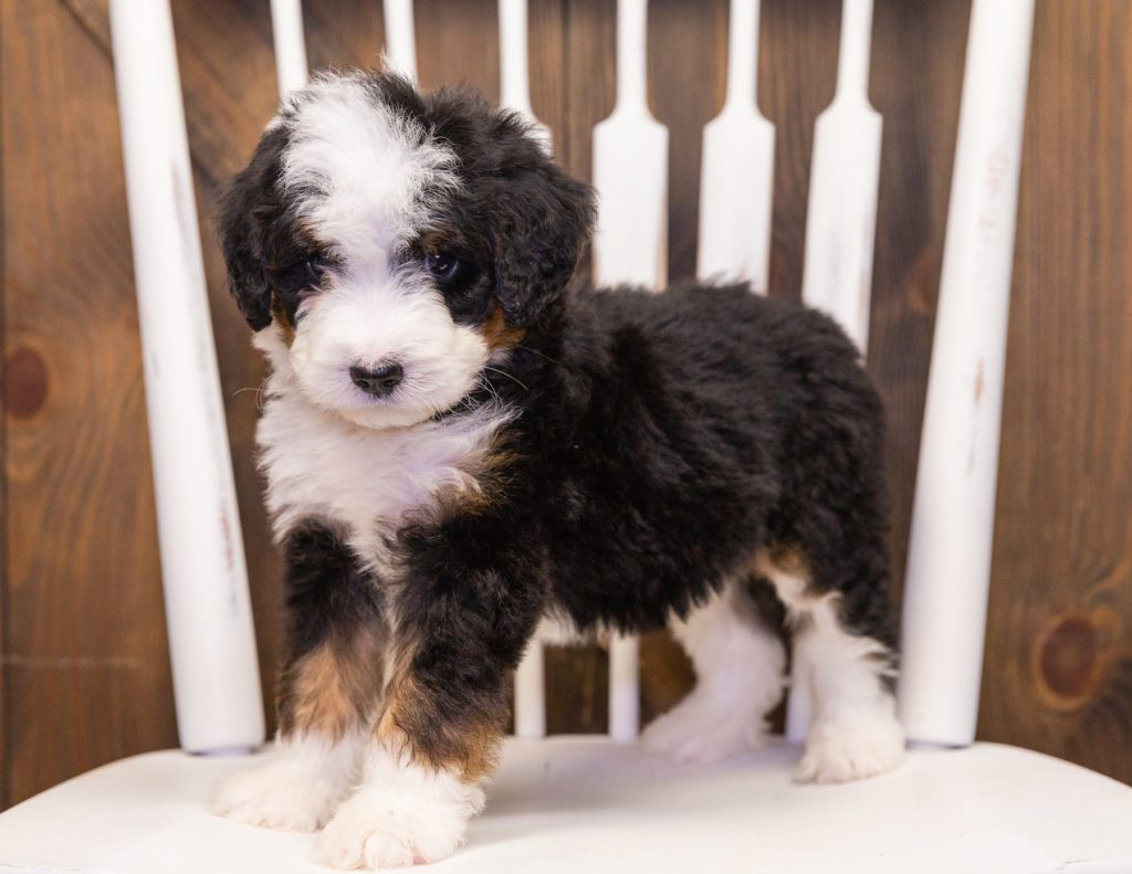 Trina is an F1 Bernedoodle.