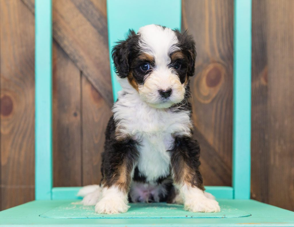 Trina came from Willow and Bentley's litter of F1 Bernedoodles