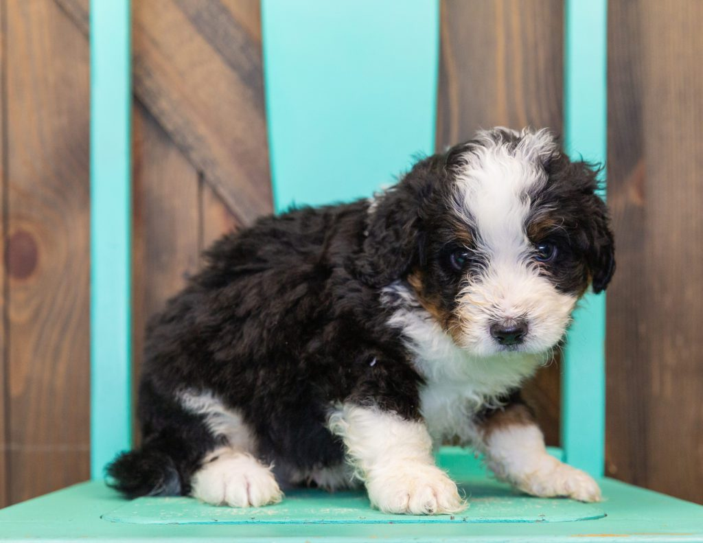 A picture of a Tucker, one of our  Bernedoodles for sale