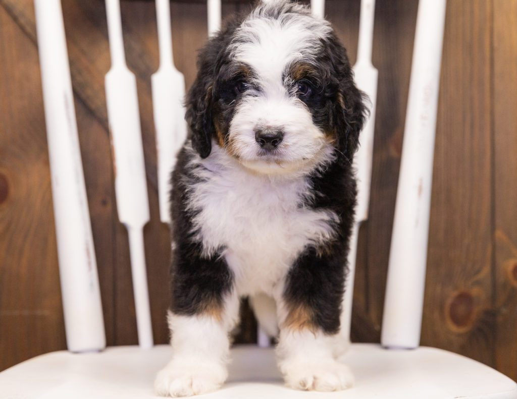 Tucker came from Willow and Bentley's litter of F1 Bernedoodles
