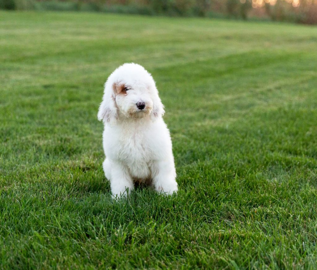 Xylon is an F1B Goldendoodle.