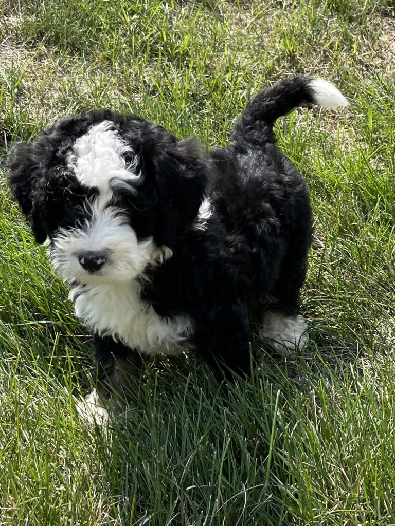 Yoki is an F1 Bernedoodle that should have  and is currently living in Minnesota