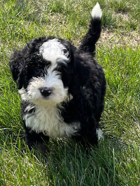 A picture of a Yoki, one of our Mini Bernedoodles puppies that went to their home in Minnesota