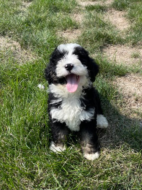 Yoki came from Jersey and Parker's litter of F1 Bernedoodles