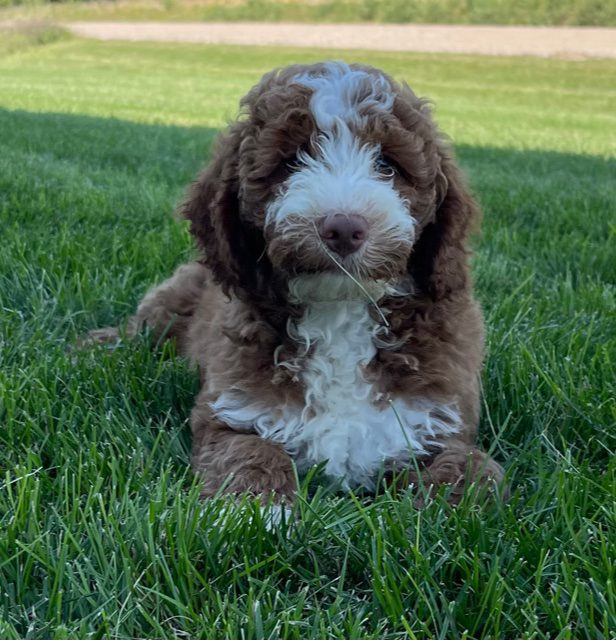 A picture of a Voodoo, one of our Mini Goldendoodles puppies that went to their home in Virginia