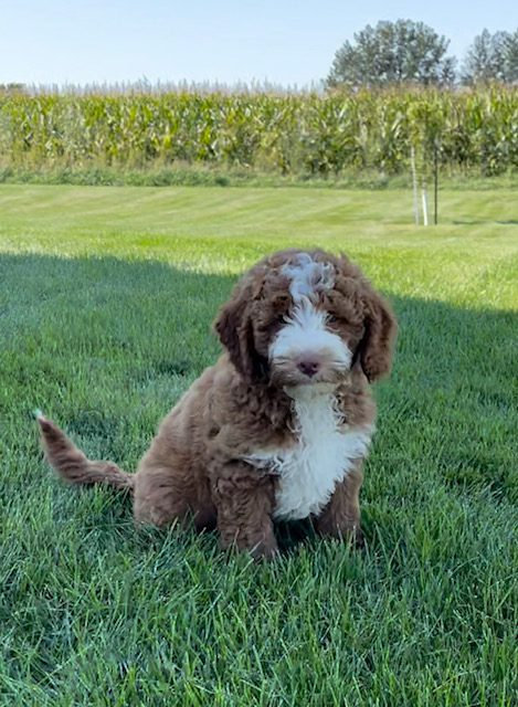 Voodoo is an F1B Goldendoodle that should have  and is currently living in Virginia