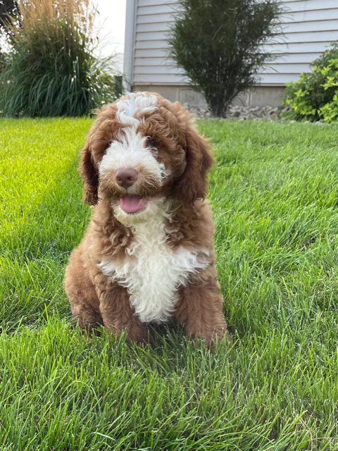 A picture of a Victor, one of our Mini Goldendoodles puppies that went to their home in Florida