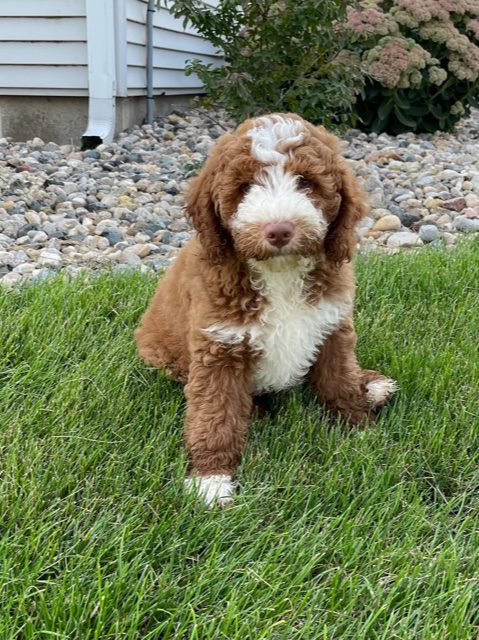 Victor is an F1B Goldendoodle that should have  and is currently living in Florida