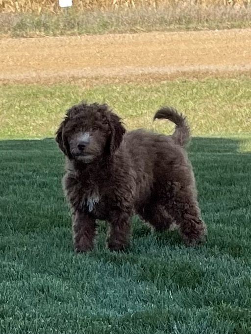 A picture of a Victory, one of our Mini Goldendoodles for sale