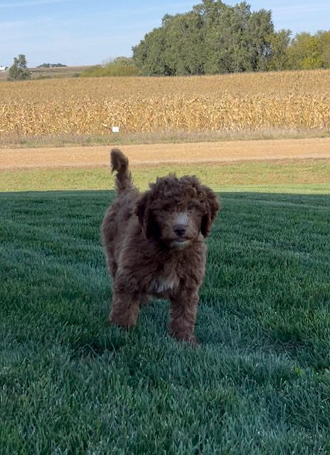 Victory is an F1B Goldendoodle.