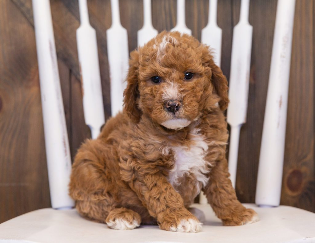 A picture of a Vanilla, one of our Mini Goldendoodles puppies that went to their home in Nebraska