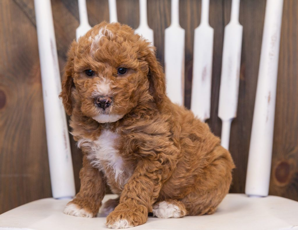 Vanilla is an F1B Goldendoodle that should have  and is currently living in Nebraska