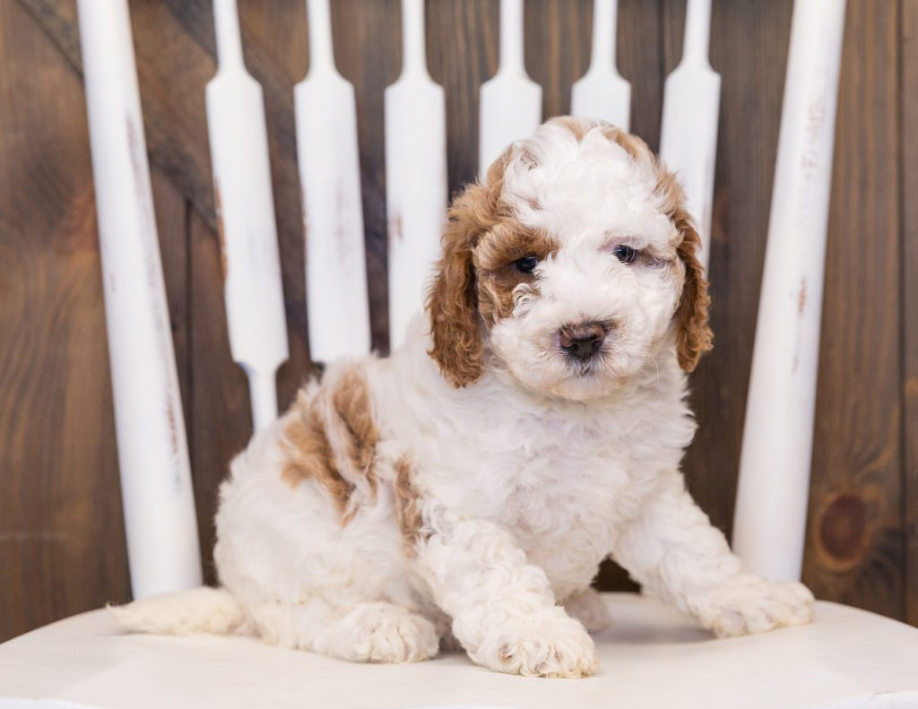 A picture of a Venus, one of our Mini Goldendoodles puppies that went to their home in Tennessee