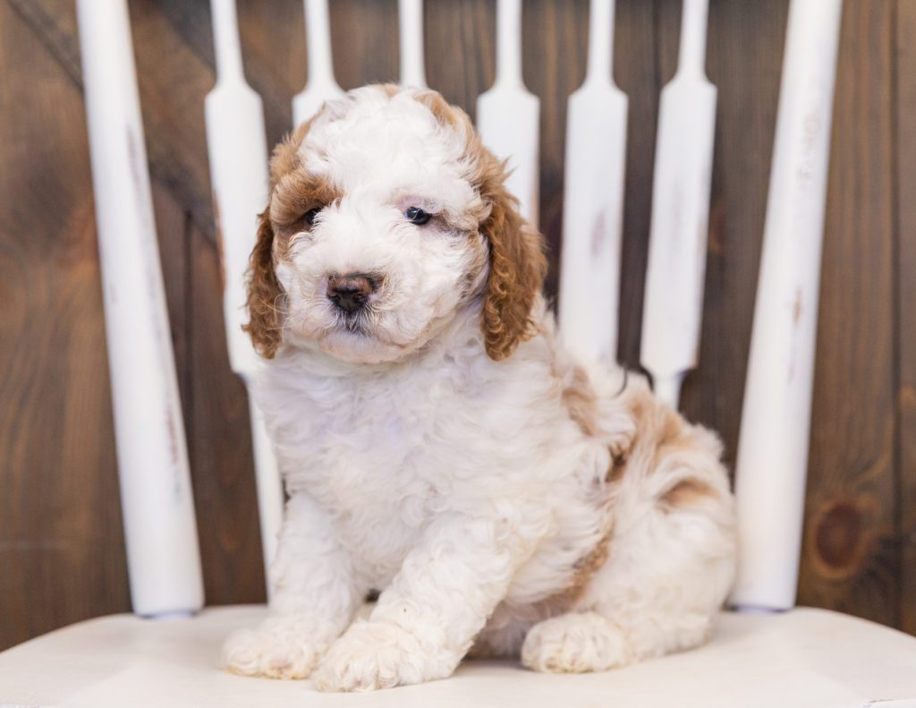 Venus is an F1B Goldendoodle that should have  and is currently living in Tennessee