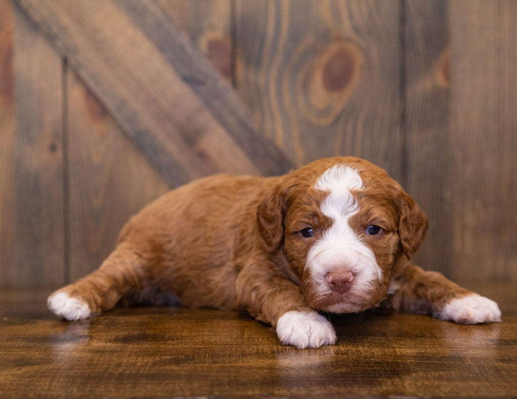 A picture of a Victor, one of our  Goldendoodles for sale
