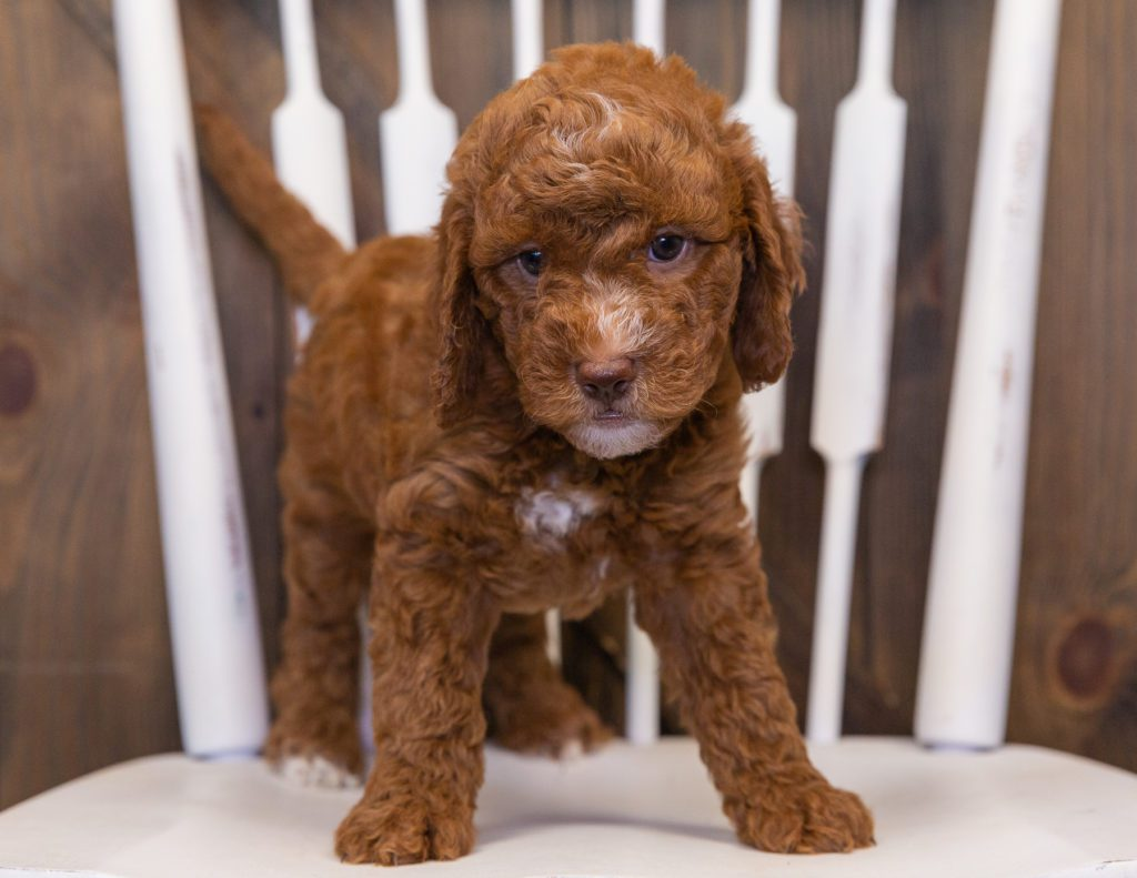 These Goldendoodles were bred by Poodles 2 Doodles, their mother is Leia and their father is Milo