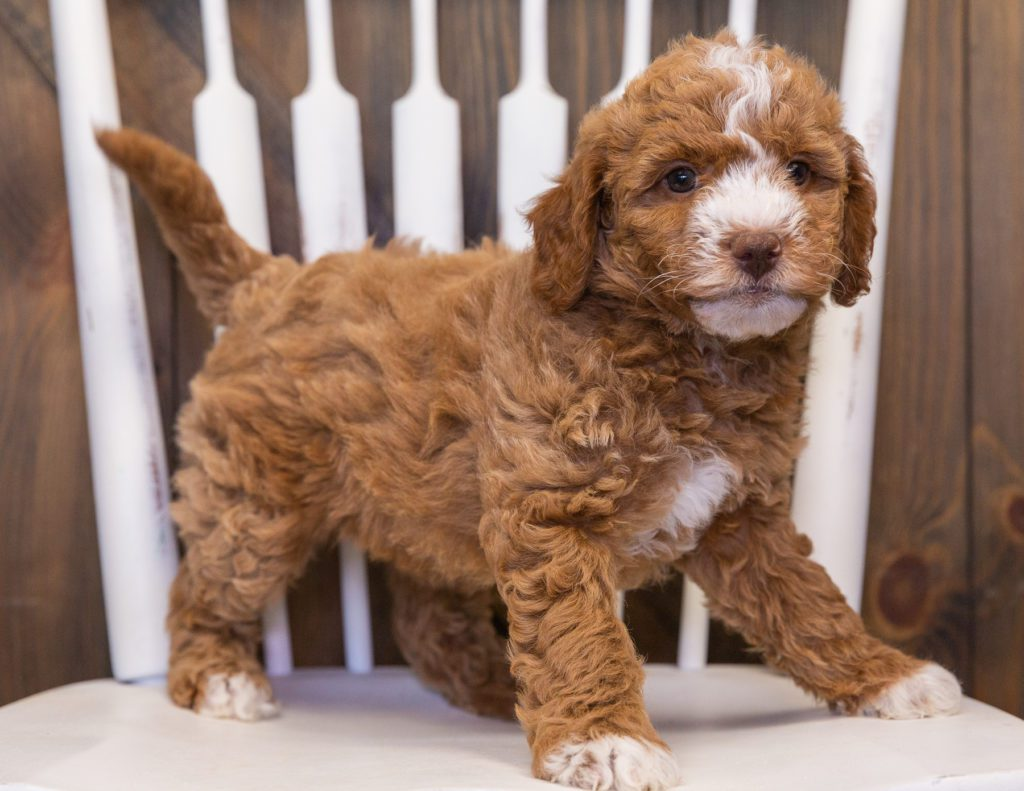A picture of a Viva, one of our Mini Goldendoodles puppies that went to their home in Nebraska